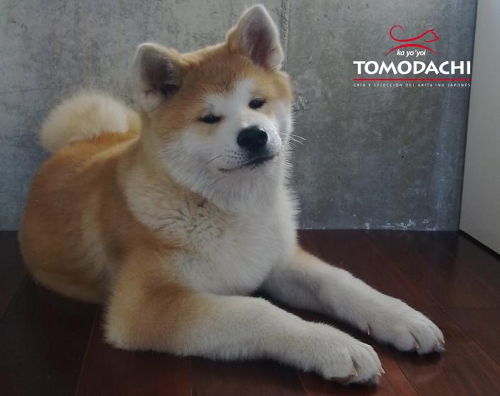 Akita Tomodachi